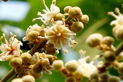 Radiqueen® Plant Extract Essence